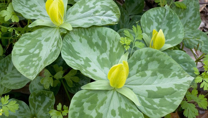 Flowers trillium lilies yellow wallpaper