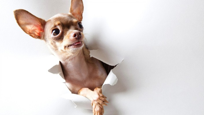 Animals curious dogs chihuahua wallpaper