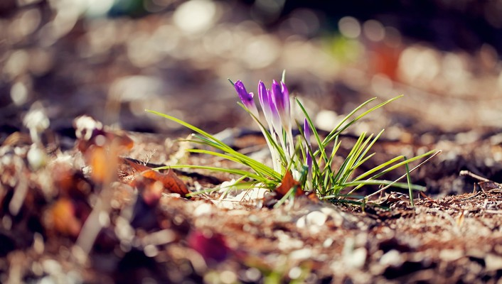 Crocus depth of field ground purple flowers wallpaper