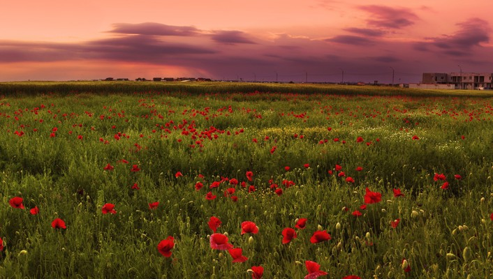 Flowers fields poppies wallpaper