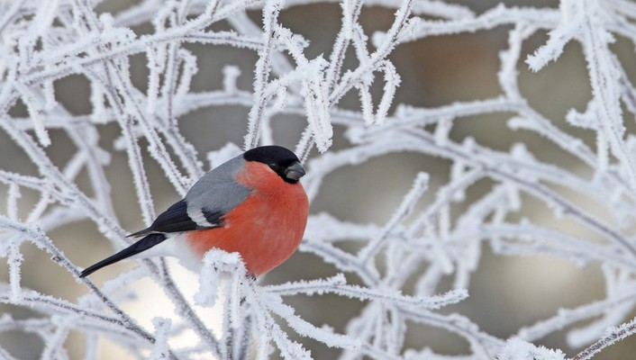 Beautiful bullfinch on icy tree wallpaper