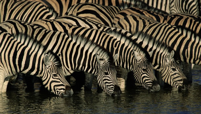 Wildlife zebras drinking wallpaper