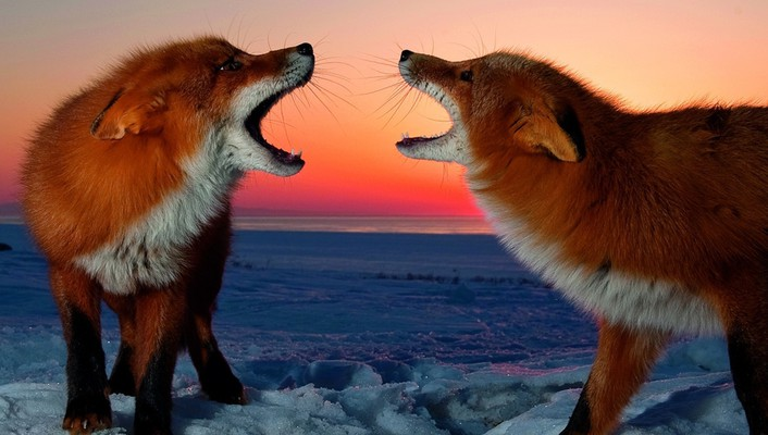 Animals foxes red snow wallpaper