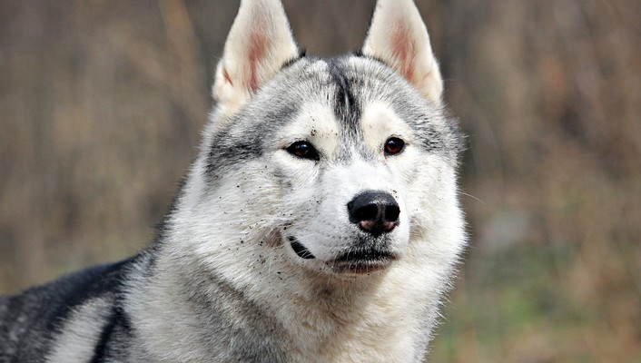 Animals dogs husky outdoors pets wallpaper