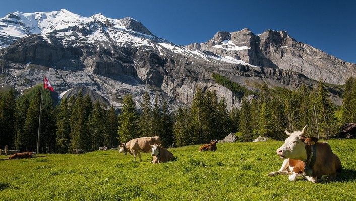 Mountain landscape and cattle wallpaper