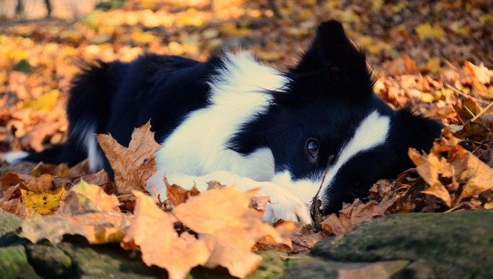 Dog in autumn leaves wallpaper