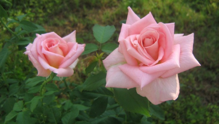 Two pink roses wallpaper