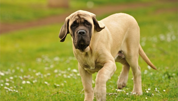 The english mastiff wallpaper