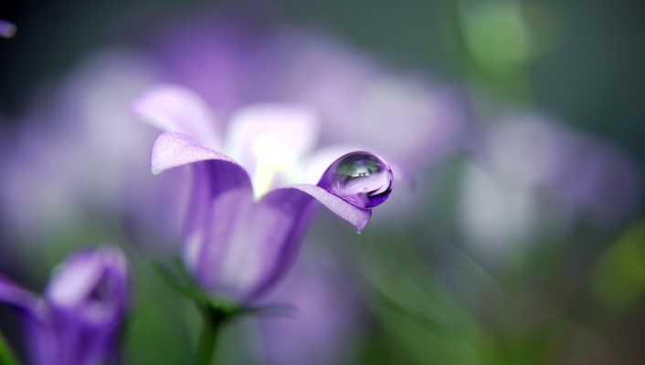 Flowers purple water drops wallpaper