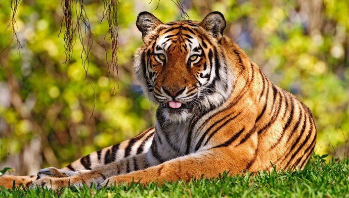 Animals nature tigers widescreen wild wallpaper
