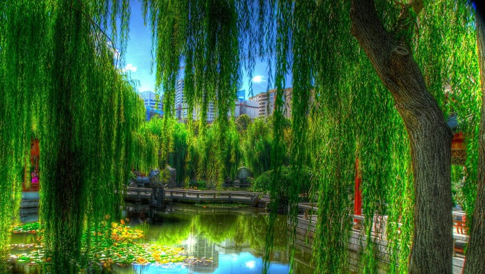 Willows in a city park hdr wallpaper