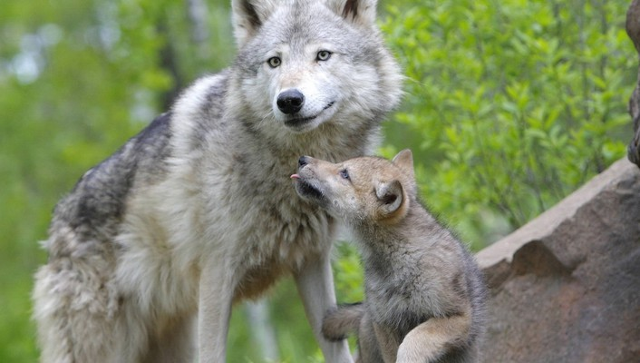 Animals baby wolves wallpaper