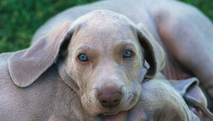Weimaraner animals dogs wallpaper