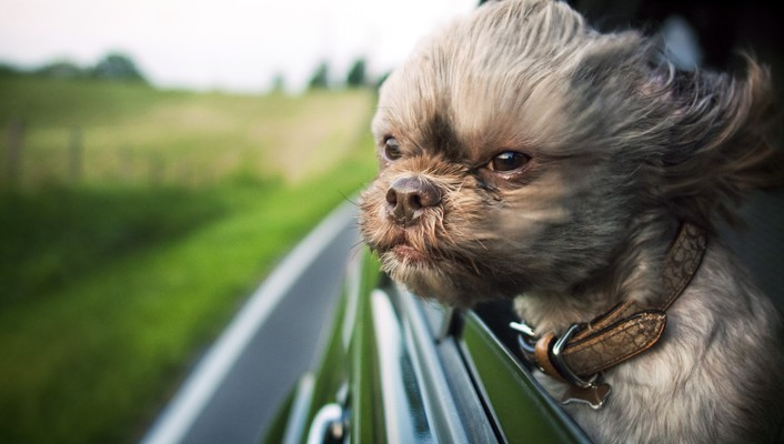 Animals dogs funny shihtzu wind wallpaper