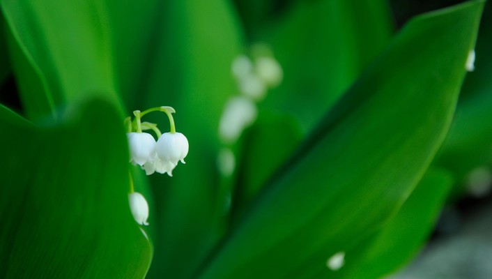 Flowers lily of the valley macro wallpaper