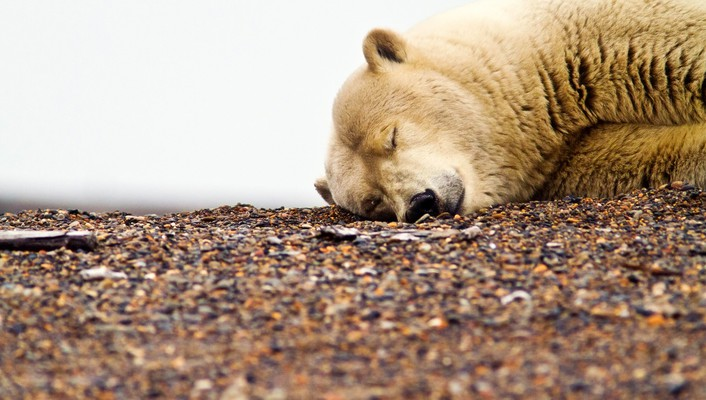 Animals sleeping bears polar wallpaper