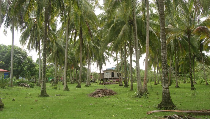 Coconut plantation wallpaper