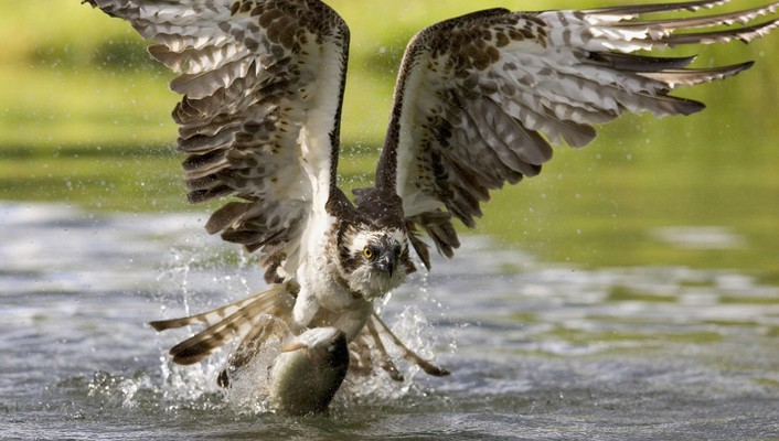 Finland fish osprey wallpaper
