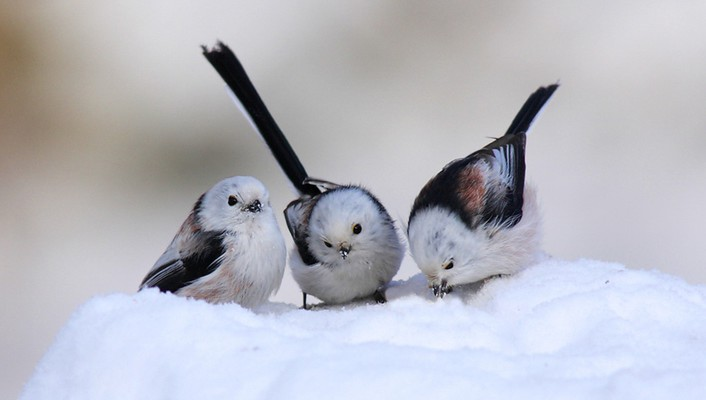 Longtailed tit birds snow wallpaper