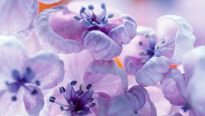 Blossoms flowers purple spring wallpaper