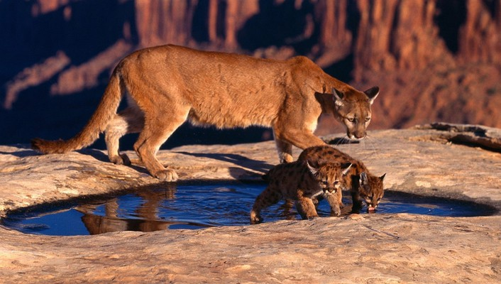 Animals mountain lions puma wallpaper