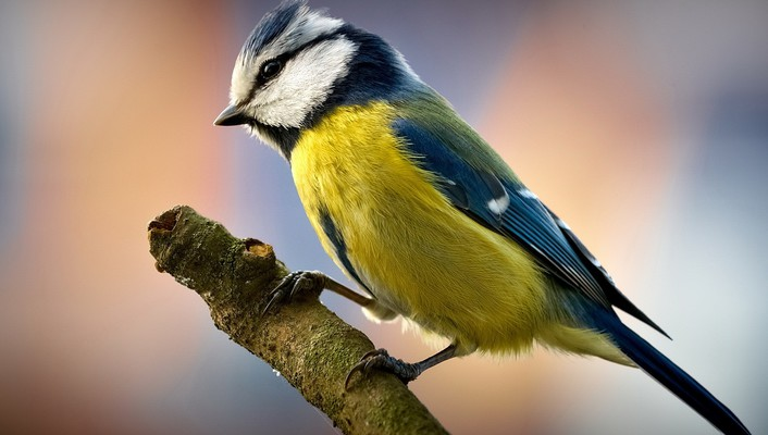 Birds blue tit wallpaper