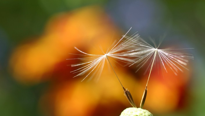 Dandelions depth of field flowers nature plants wallpaper