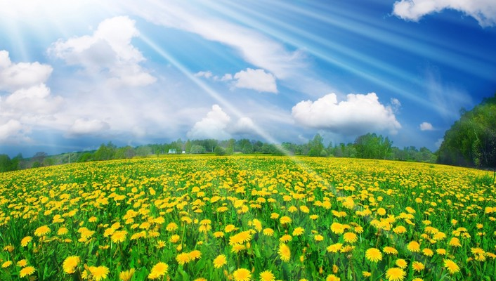 Dandelions fields landscapes nature yellow flowers wallpaper