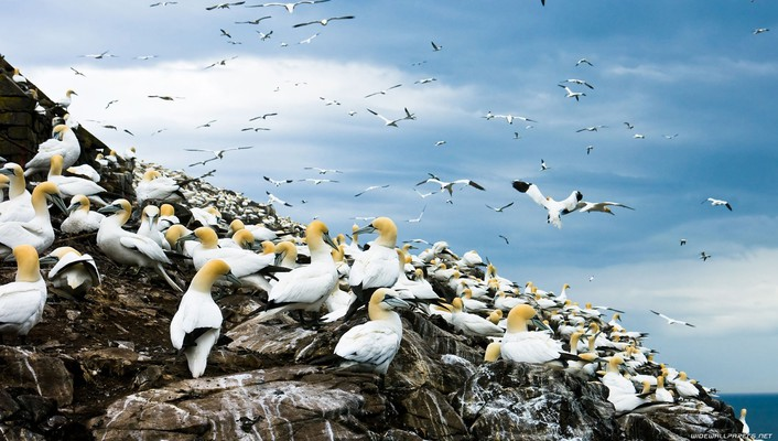Birds gannets rocks wallpaper