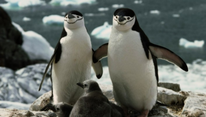 Chinstrap penguins baby birds wallpaper