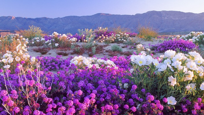 California deserts flowers nature wallpaper