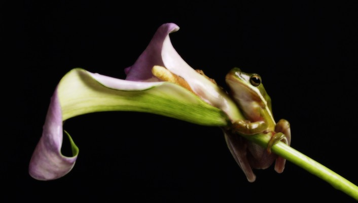 Amphibians frogs hanging lilies wallpaper