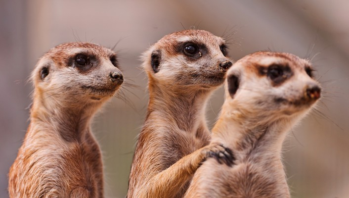 Animals funny meerkats wallpaper