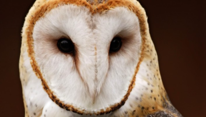 Australian animals barn owl nature owls wallpaper