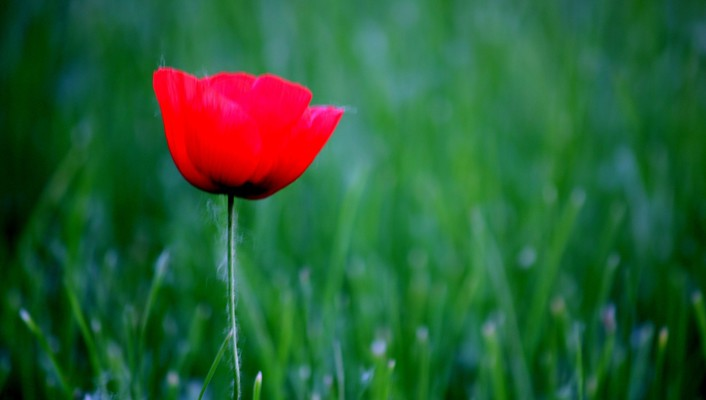 Nature flowers grass red poppies wallpaper