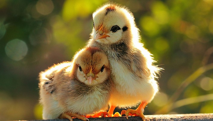 Chicks wallpaper