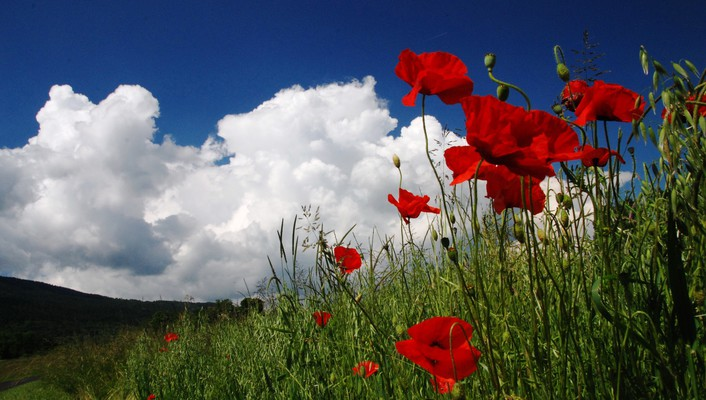 Poppies in field wallpaper