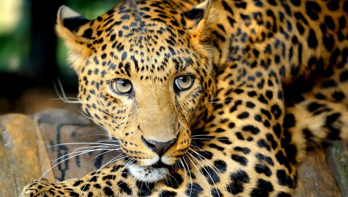 Leopard unconvinced expression wallpaper