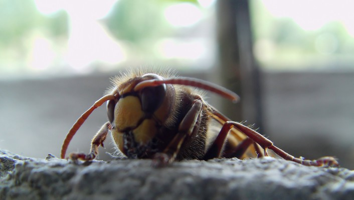 Animals insects macro hornets wallpaper