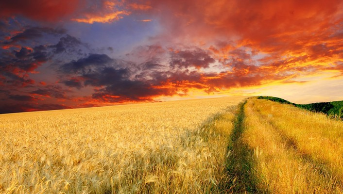 Endless wheat field at sunset wallpaper