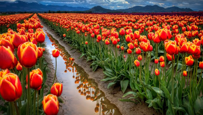 Landscapes nature flowers tulips hdr photography wallpaper