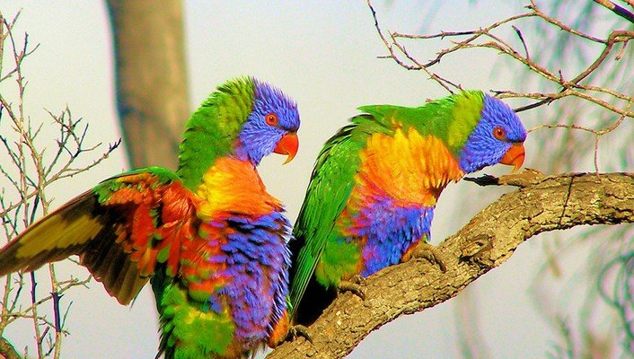 Wildlife birds rainbow lorikeets wallpaper