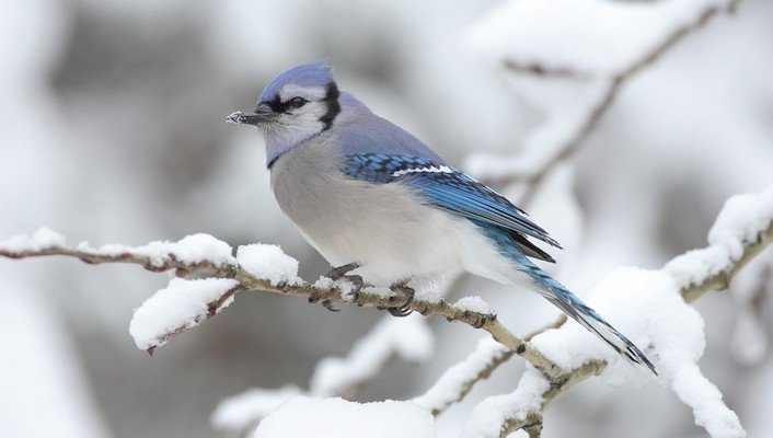 Blue jay birds snow winter wallpaper