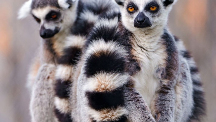 Nature white animals wildlife sitting lemur primate lemurs wallpaper