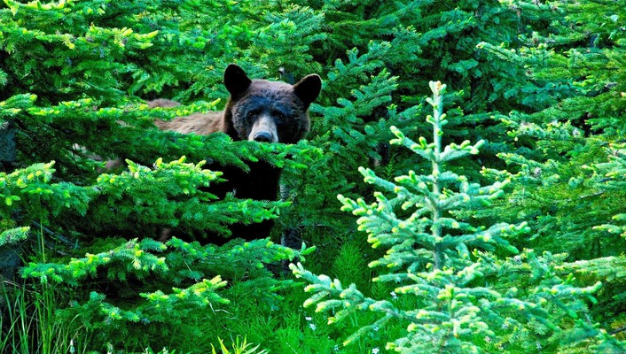 Brown bear in the woods wallpaper