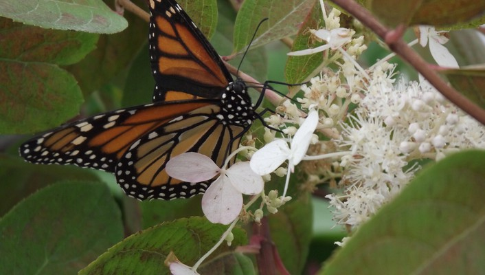 Monarch butterfly perched on white flower wallpaper