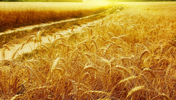 Gold nature wheat wallpaper