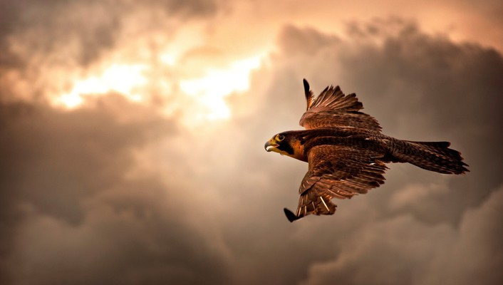 Birds falcon bird flight wallpaper
