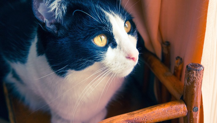 Animals cats chairs eyes fur wallpaper