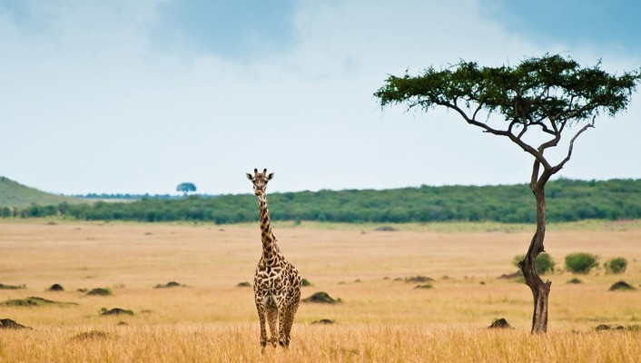 Animals giraffes lonely wallpaper